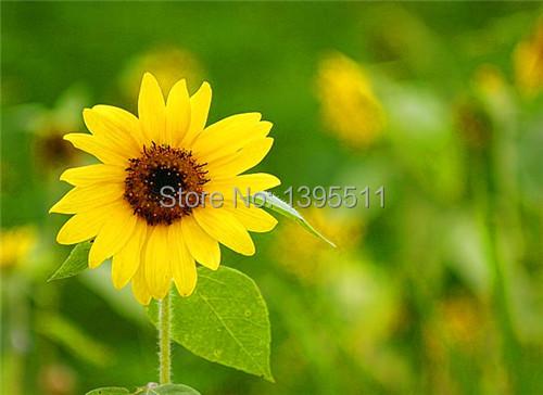 40 mini sunflower seeds Dwarf sunflower seeds sunflower series height 40cm Flower Seeds