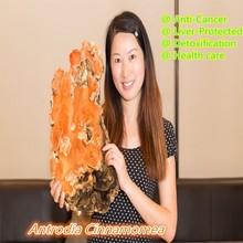 250g/bag,Antrodia Cinnamomea Extract 10:1 Powder,30% Polysaccharides 6% Triterpene,Anti-Cancer,Liver-Protected(China (Mainland))