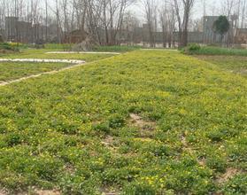 1kg natural ternate buttercup root extract Ranunculus ternatus thunb extract powder