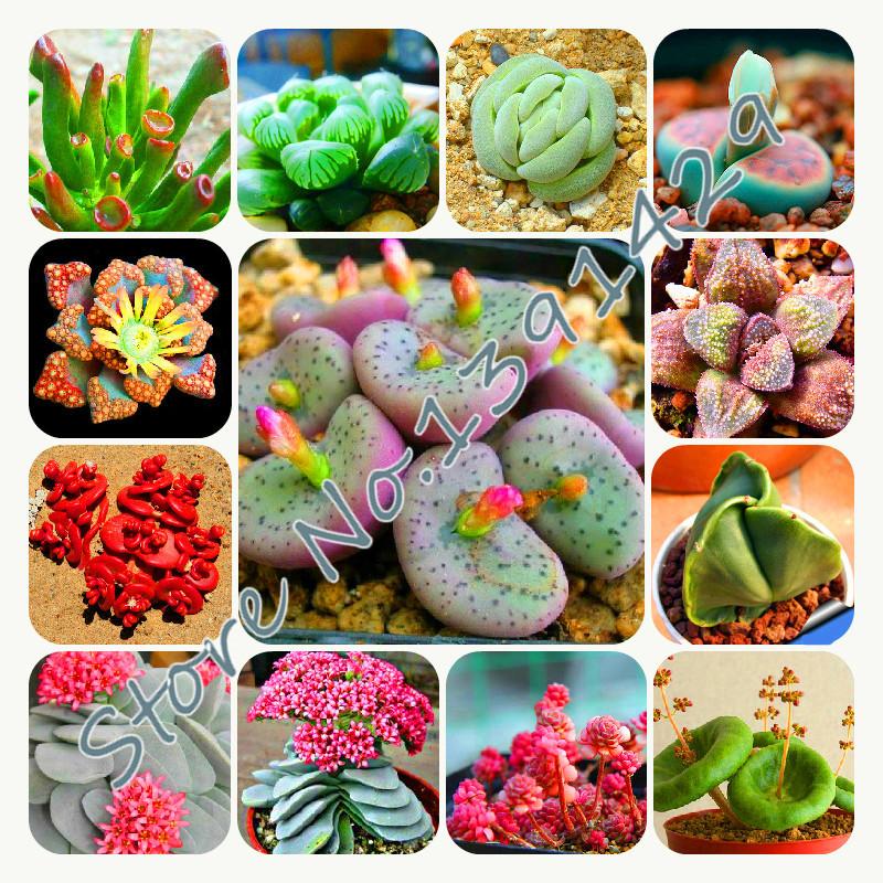 100 Lithops Pseudotruncatella seeds Living Stone cactus seeds Rare Succulent Seeds Bonsai Garden Plant seeds(China (Mainland))