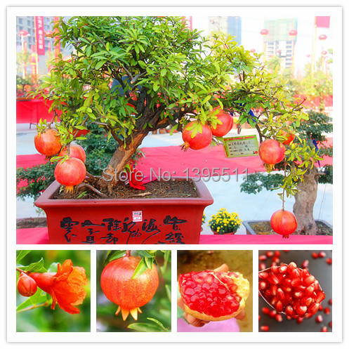 Гаджет  50 bonsai tree pomegranate seeds home plant Delicious fruit seeds very big and sweet  for home garden plant sprouting 95% None Дом и Сад