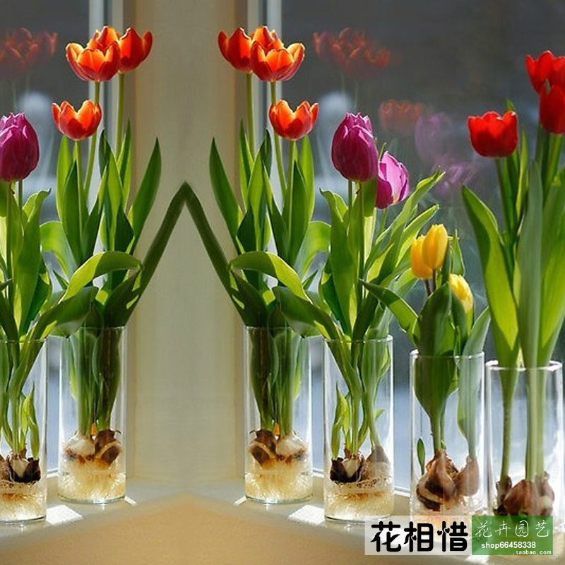 Holland Xiangxi flower bulbs imported tulip bulbs potted flower in blossom varieties(China (Mainland))