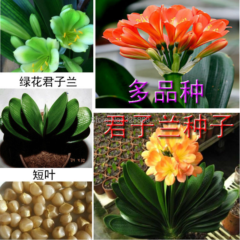 Buy 5 get a potted orchid flower seeds Baikal round balcony desktop boutique Clivia bird seed(China (Mainland))
