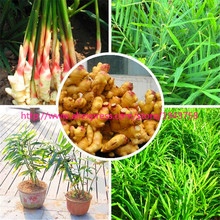100pcs Perennial ginger seeds vegetable seeds zingiber officinale seeds balcony fruits and vegetables(China (Mainland))
