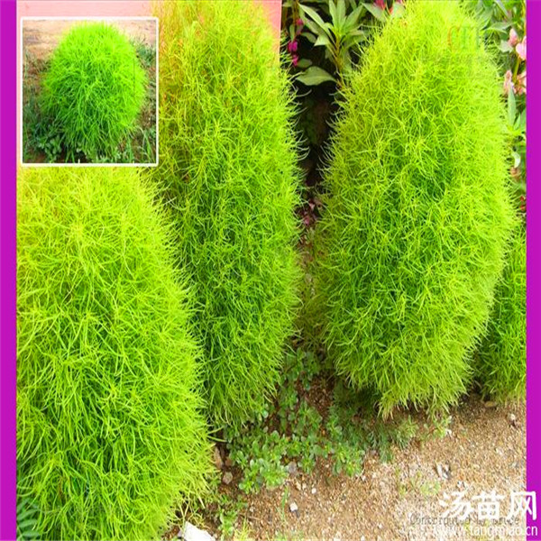 Cheap ornamental grasses 100 images 15 best buy for Oriental grass for shade
