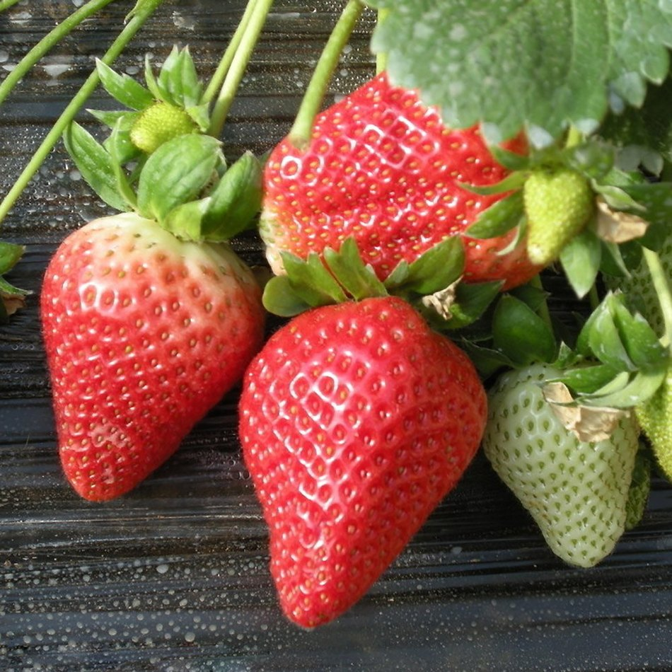 Hot On Sale !Elegent And Magic 600Pcs Red Giant Strawberry Seeds Fruits Ornamental Home Office Plant Support Wholesale(China (Mainland))