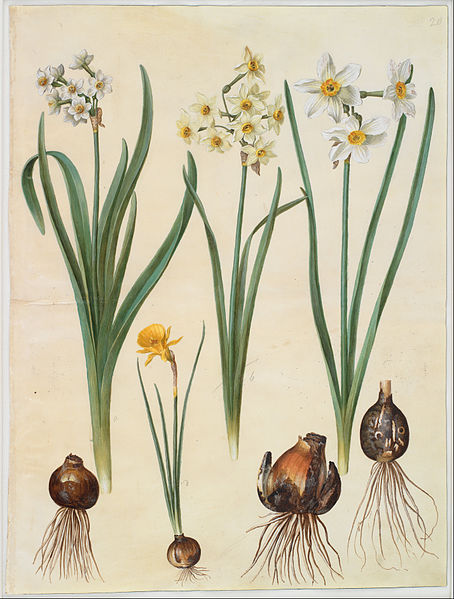 Canvas Art Prints Giclee Oil Painting Johannes Simon Holtzbecher - Narcissus Tazetta Orientalis Corbularia Bulbocodium(China (Mainland))