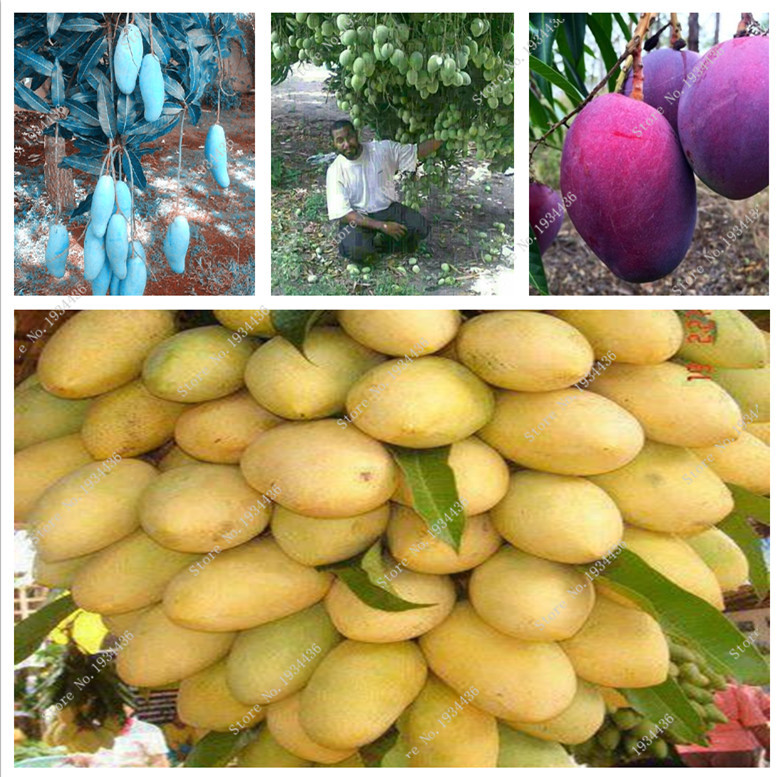 hot selling,different color Mango Seeds 100% true seeds-3pcs bonsai fruit seeds for graden,(China (Mainland))