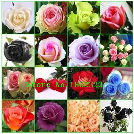 200pcs Beautiful Rainbow Rose Seeds Multi-colored Rose seeds Rose Flower Seeds(China (Mainland))