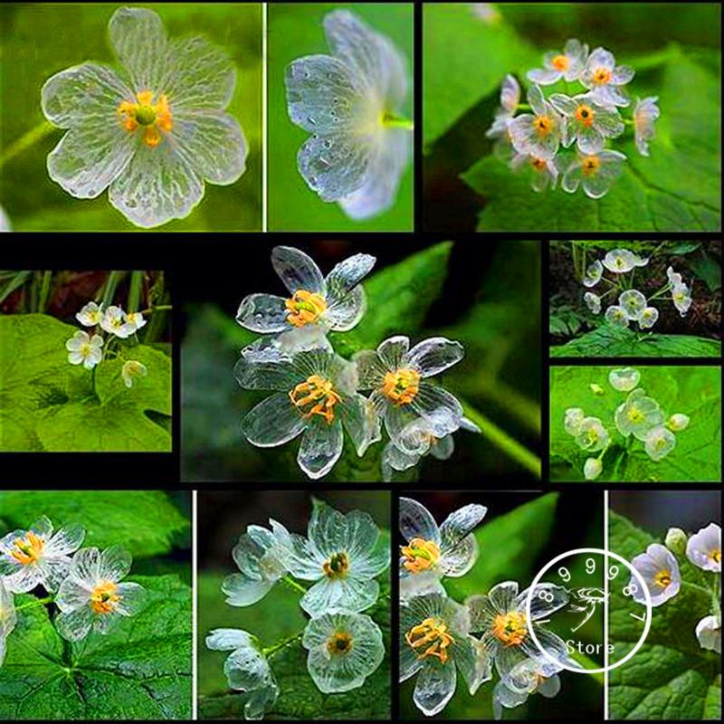 Best-Selling! 100 PCS Transparent Flower Seeds Delicate DIY Garden Flower seeds