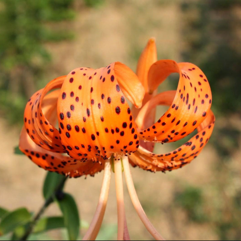 A Package 50 Pieces Tiger Skins Lilium Brownii Flower Seeds Balcony Bonsai Courtyard Plant Flower Seeds Lily Seeds(China (Mainland))