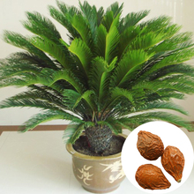 Free Shipping 1 Seeds / Pack Cycas Seeds, Potted Seed, Flower Seed, Variety Complete, The Budding Rate 97%