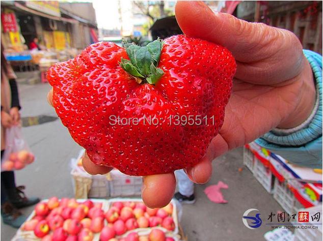 350 giant strawberry seeds send 200chili as gift bonsai strawberry seeds edible four seasons large type