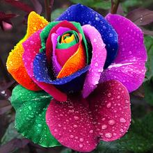 150 pcs Seeds Rare Holland Rainbow Rose Flower Home Garden Rare Flower Seeds Colorful Rose Seeds(China (Mainland))