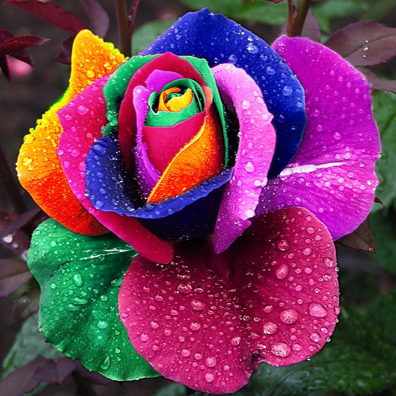 150 pcs Seeds Rare Holland Rainbow Rose Flower Home Garden Rare Flower Seeds Colorful Rose Seeds(China (Mainland))