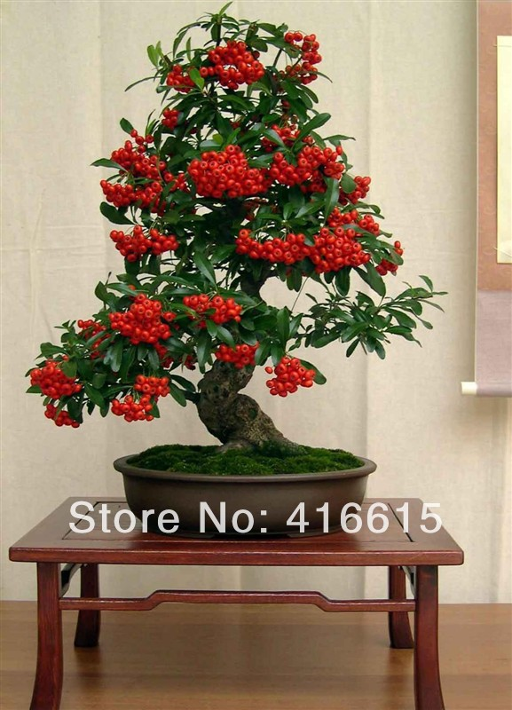 Beautiful Plants in The World Firethorn,beautiful Plant