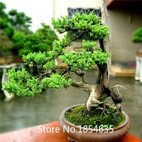 online get cheap ficus ginseng bonsai. Black Bedroom Furniture Sets. Home Design Ideas