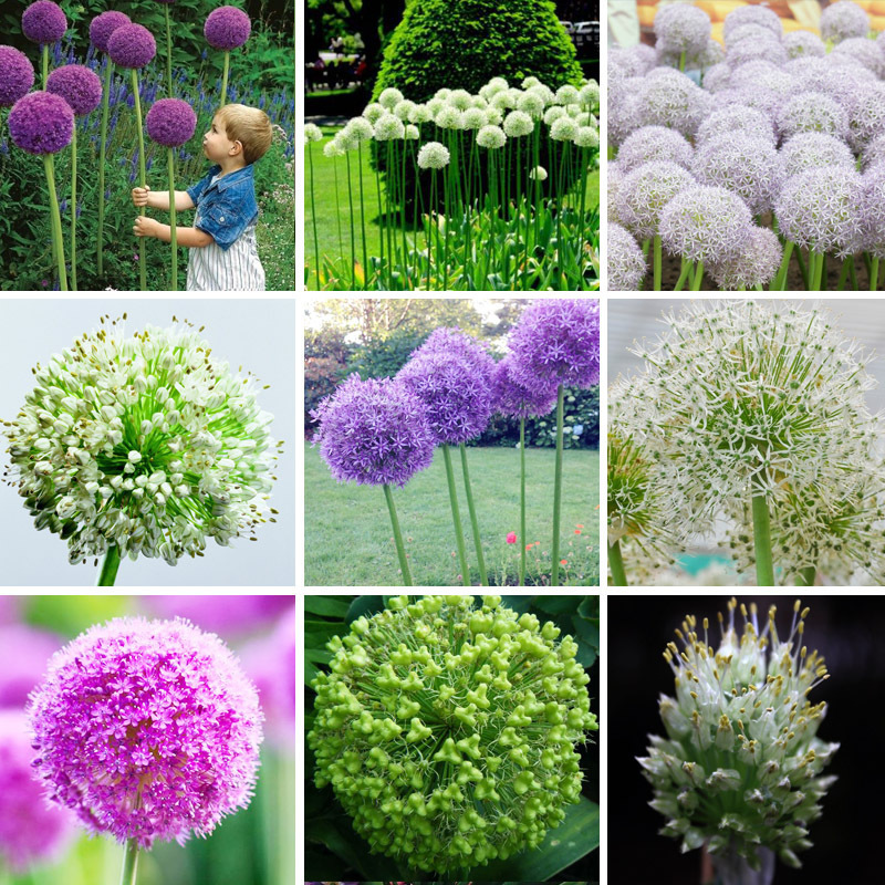 Exotic Onion Seeds Giant Allium Seeds Multicolor Balcony Potted Flowers (White Purple Green) 30 PCS / Bag(China (Mainland))