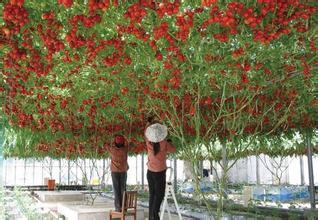 200seeds/bag Italian tree tomato seeds travel L crop seeds, grape tomatoes tomatoes climb trees free shipping(China (Mainland))