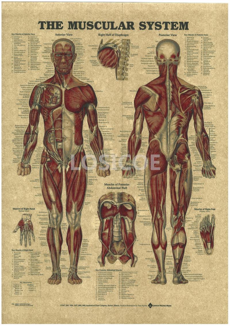 Vintage Medicine Human anatomy Posters Kraft Paper Painting Wall Sticker Print Art Hospital Classrooms Interior Decoration A7(China (Mainland))