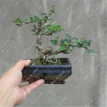 Ash Tree Seeds Mini Bonsai Green DIY Home Garden Decor Potted Plant 1 New Year Gifts - Flowers Story store