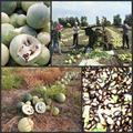 50pcs Watermelon Seeds Organic Melon Fruit Seeds