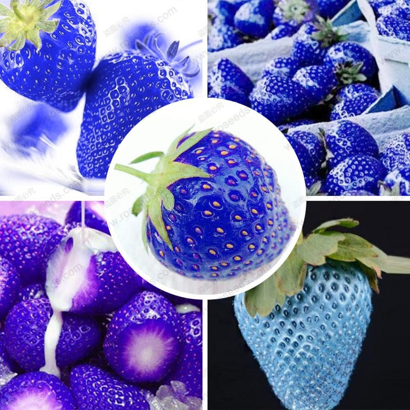 Balcony fruits strawberry seeds blue strawberry seed delicious fragaria ananassa seed 200 pcs