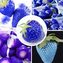 Balcony fruits strawberry seeds blue strawberry seed delicious fragaria  ananassa seed – 200 pcs