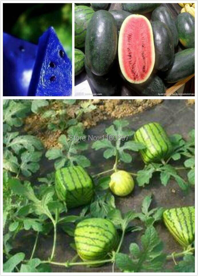 40 Seeds Watermelon Red White Yellow Green Blue Watermelon Fruit Seeds Home7garden Bonsai seed semillas de plantas with a gift(China (Mainland))