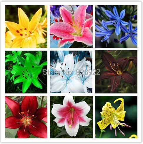 lily seeds, cheap perfume lily seeds, Yellow White Red Pink Purple Lily Flower Garden Plant - Mixing different varieties 100pcs(China (Mainland))