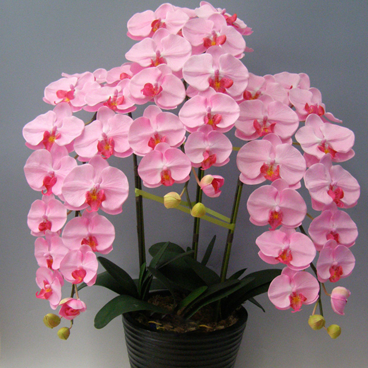 200 Pieces Pink Phalaenopsis Seeds Potted Indoor Flowers Bonsai Four Seasons Orchid Seeds