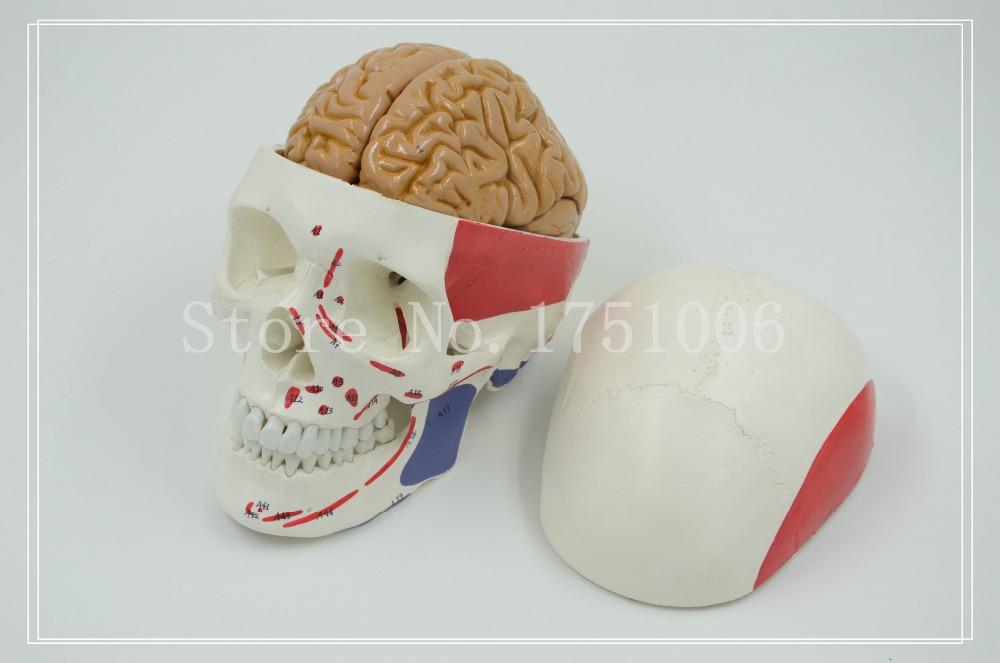 Здесь можно купить  1:1 human skull model. The muscles of the head with a bone. Skull model. Brain anatomy 1:1 human skull model. The muscles of the head with a bone. Skull model. Brain anatomy Офисные и Школьные принадлежности