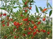 goji berry The king of Chinese wolfberry medlar bags in the herbal tea Health tea goji