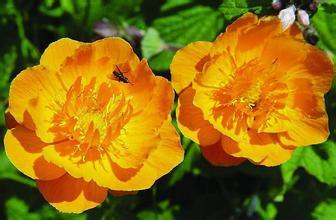 1000g 10:1  Trollius chinensis extract Globeflower Flower extract Nasturtium extract