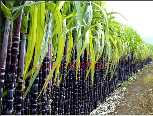 100 pcs / bag GUANGXI black sugar cane seed Vegetable and fruits seeds super sweet plants Seeds for home & garden(China (Mainland))