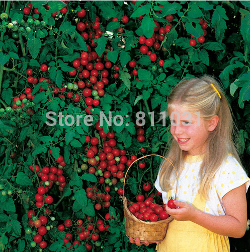 20pcs/lot Tomato 'Sweet Million' F1 Seeds Fruit Bonsai Vegetable Seed Home Garden Free Shipping(China (Mainland))
