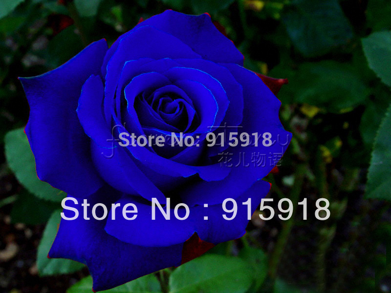 ( ,NOW BUY ONE GET ONE FREE ,GET 400Seeds )Chinese Blue Rose Seeds Your Lover Plant For Sweet Lover(China (Mainland))