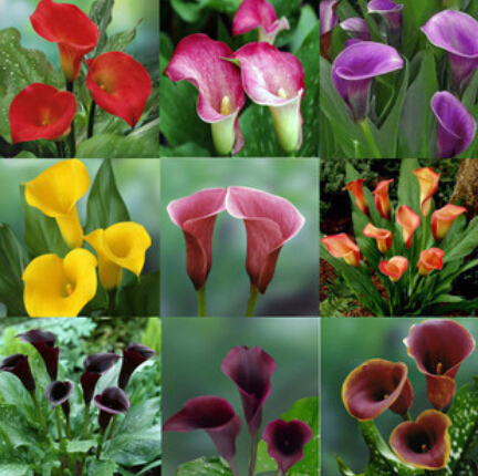 Free shipping 50 pcs bag Calla seeds potted seed flower seed variety complete the budding rate 95% Mixed colors