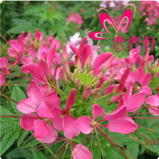 Household potted flower seed mini drunk butterfly flowers plants white 40 - yuelan song's store