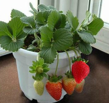 200pcs big giant red fruit strawberry seeds DIY Garden fruit seeds balcony seed, potted plants, garden supplies, bonsai, home(China (Mainland))