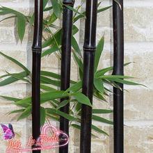 50 Seeds/bag Rare Black Bamboo Seeds - Phyllostachys Nigra Dendrocalamus Asper Betung Hitam - Black Culmed Rough Bamboo - Seeds