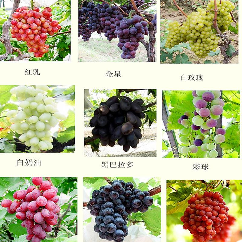Senior Courtyard Plants,Delicious Fruit Kyoho grape seed red mention child seeds - 10 seeds(China (Mainland))