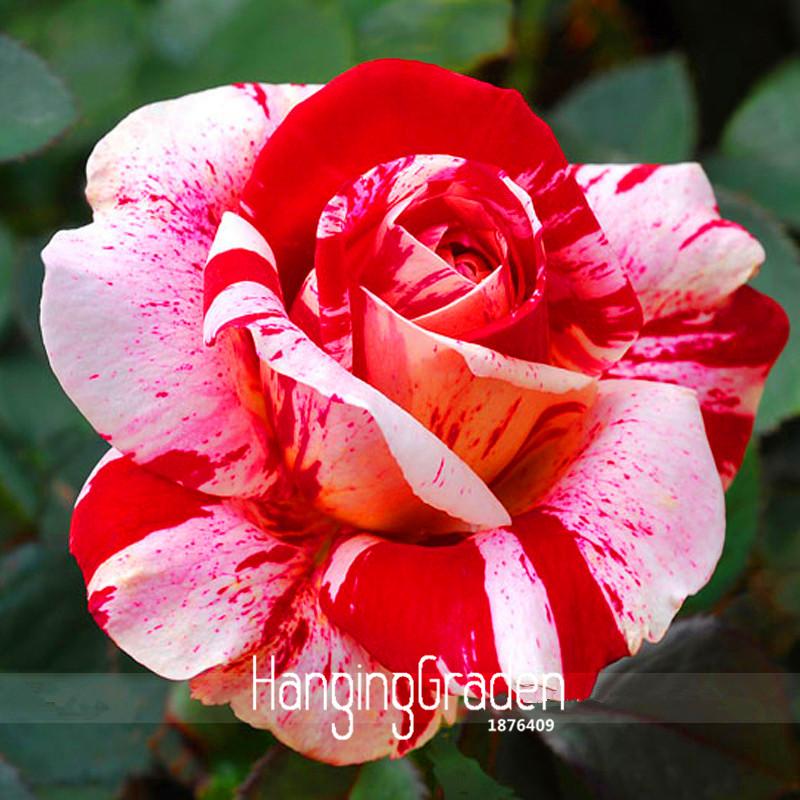 Big Sale, Tulip seeds, tulip flowers, beautiful tulip 19 varieties can pick -10 seeds,#I74RL9