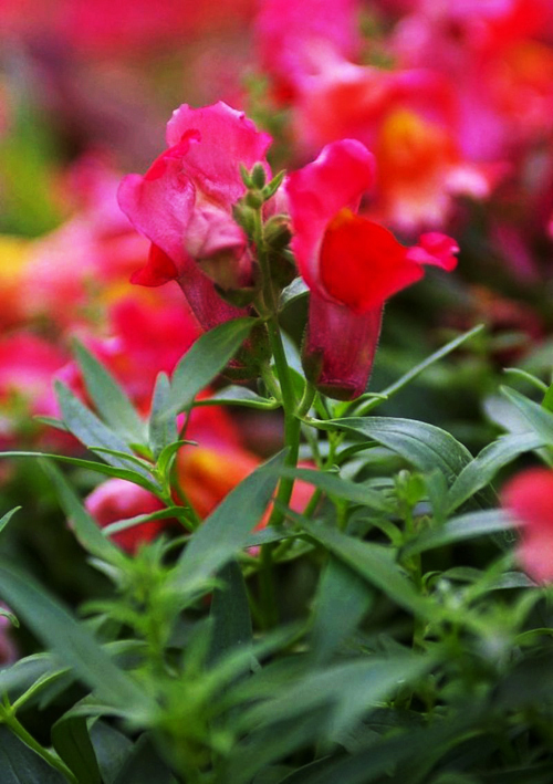 3 Packs Of Common Snapdragon Seed / 1 Pack 60 Seeds Red Sweetheart Antirrhinum Majus Flower Hot A181(China (Mainland))