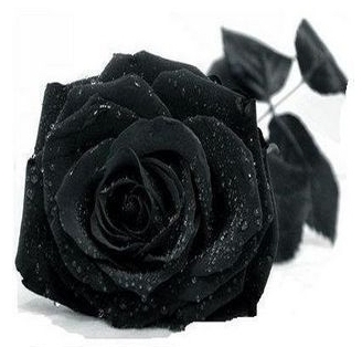 Promotion 100pcs New Black Rose Seeds Chinese Rose Flower Seeds DIY Home Gardening Drop Shipping, IZ0002