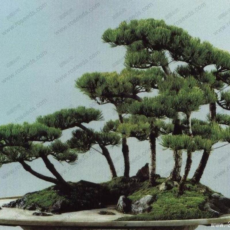 Perennial evergreen tree seeds Japanese pine bonsai tree seeds holly leaf pine seed 100 PCS bag