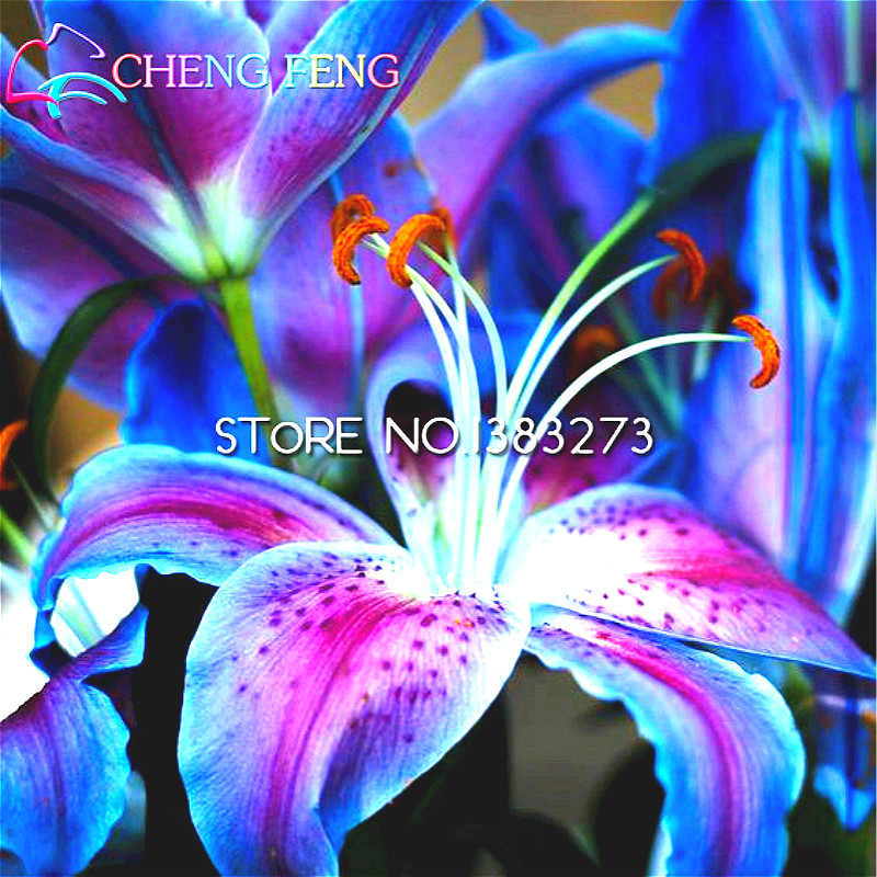 50pcs Lily Seed Cheap Chinese Seeds 97% Germination Diy Potted Plants Rare Giant Flowers For Garden Decoration Free Shipping(China (Mainland))