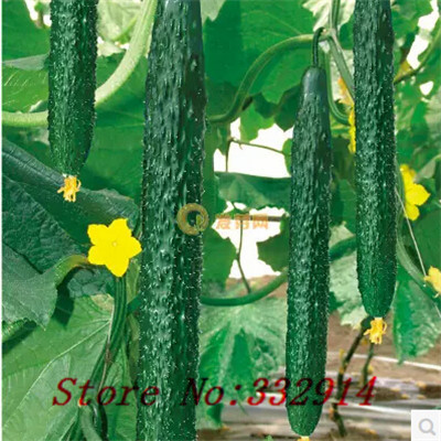 Sale!100American white miracle Pibozhiduo cold cucumber seeds Cucumber Varieties DIY Home Garden Vegetable Seeds, Free Shipping(China (Mainland))
