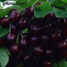 New Arrival 10 Particles / Bag Delicious Sweet Cherry Mazzard Cherry Prunus Avium Fresh Fruit Tree Seeds(China (Mainland))