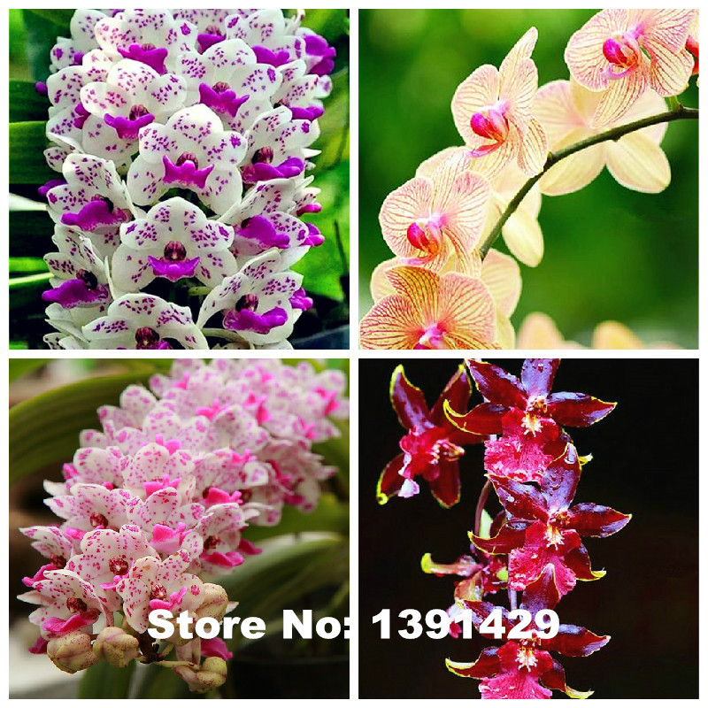 Hot Sale!!! 100pcs 22 colors Rare Cymbidium orchid, African Cymbidiums seeds, bonsai flower seeds, plant for home garden,(China (Mainland))